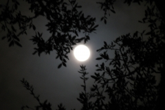 Full Moon Through Oaks Georgetown, Tx